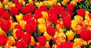 صورة صور عن الورد , خلفيات زهور حديثه