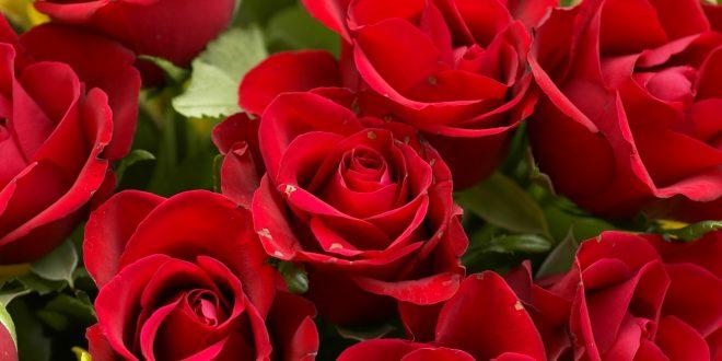 صور اجمل ورود في العالم , صور لمجموعه من انواع الورود الحلوة المنتشرة في العالم