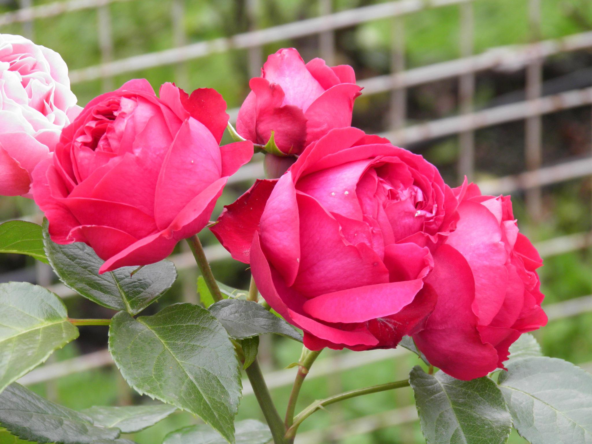 صورة اجمل ورد , مجموعه منوعه من الورود حلوة