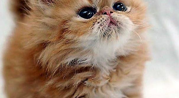 صور قطط شيرازى , القطط وانواعها كالشيرازي