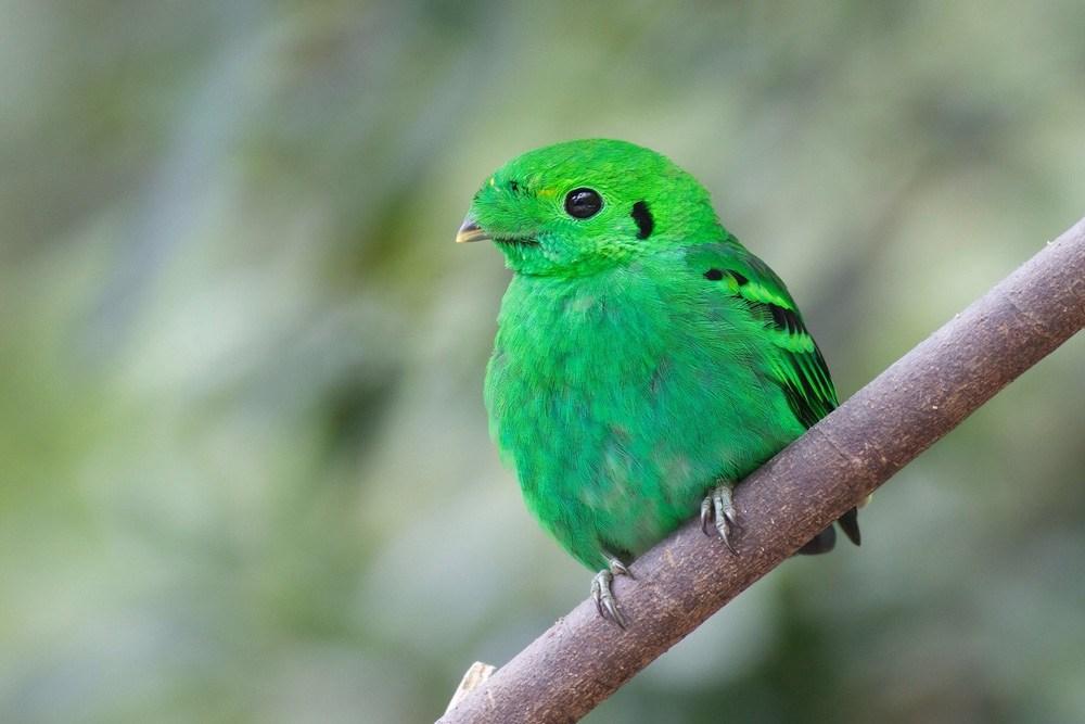 صور اجمل كناري في العالم , صور عصافير كناريا جميلة