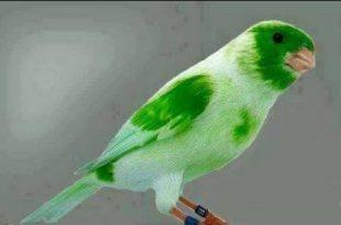 صورة اجمل كناري في العالم , صور عصافير كناريا جميلة