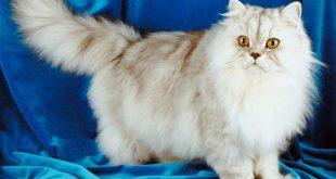 بالصور قطط رومي , مميزات وصفات القطط الرومي 6518 10 310x165