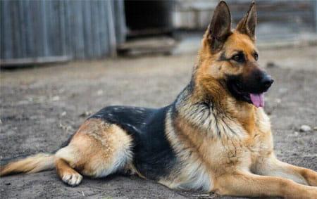 صورة انواع الكلاب , كلاب تخطف الانظار لاختلافها