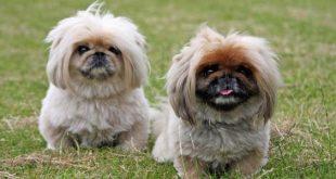 بالصور انواع الكلاب , كلاب تخطف الانظار لاختلافها 118 3 310x165