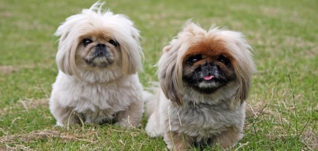 صوره انواع الكلاب , كلاب تخطف الانظار لاختلافها