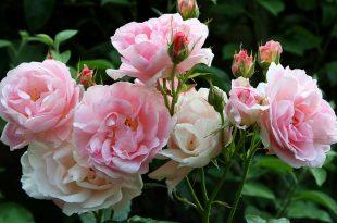 صوره اجمل الورود في العالم , لغة الورود حول العالم