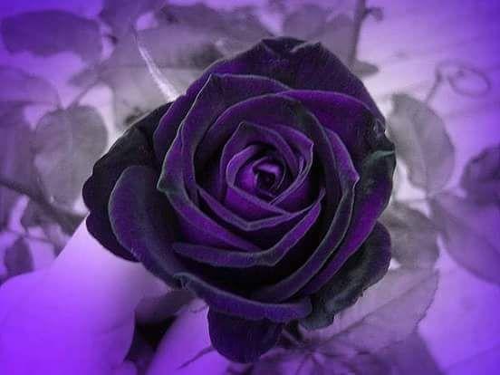 صوره صور ورد جميل , انواع الورد وجماله