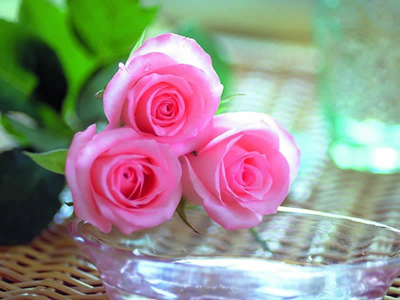 بالصور صور ورد جميل , انواع الورد وجماله 2657 10