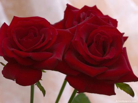 بالصور صور ورد جميل , انواع الورد وجماله 2657 11