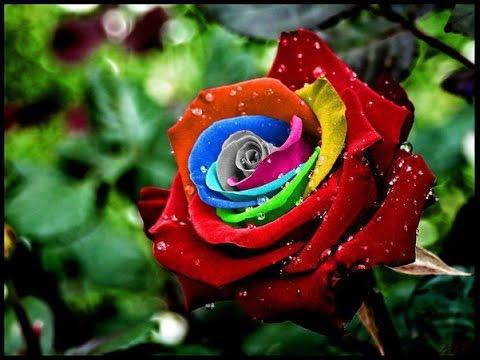 بالصور صور ورد جميل , انواع الورد وجماله 2657 9