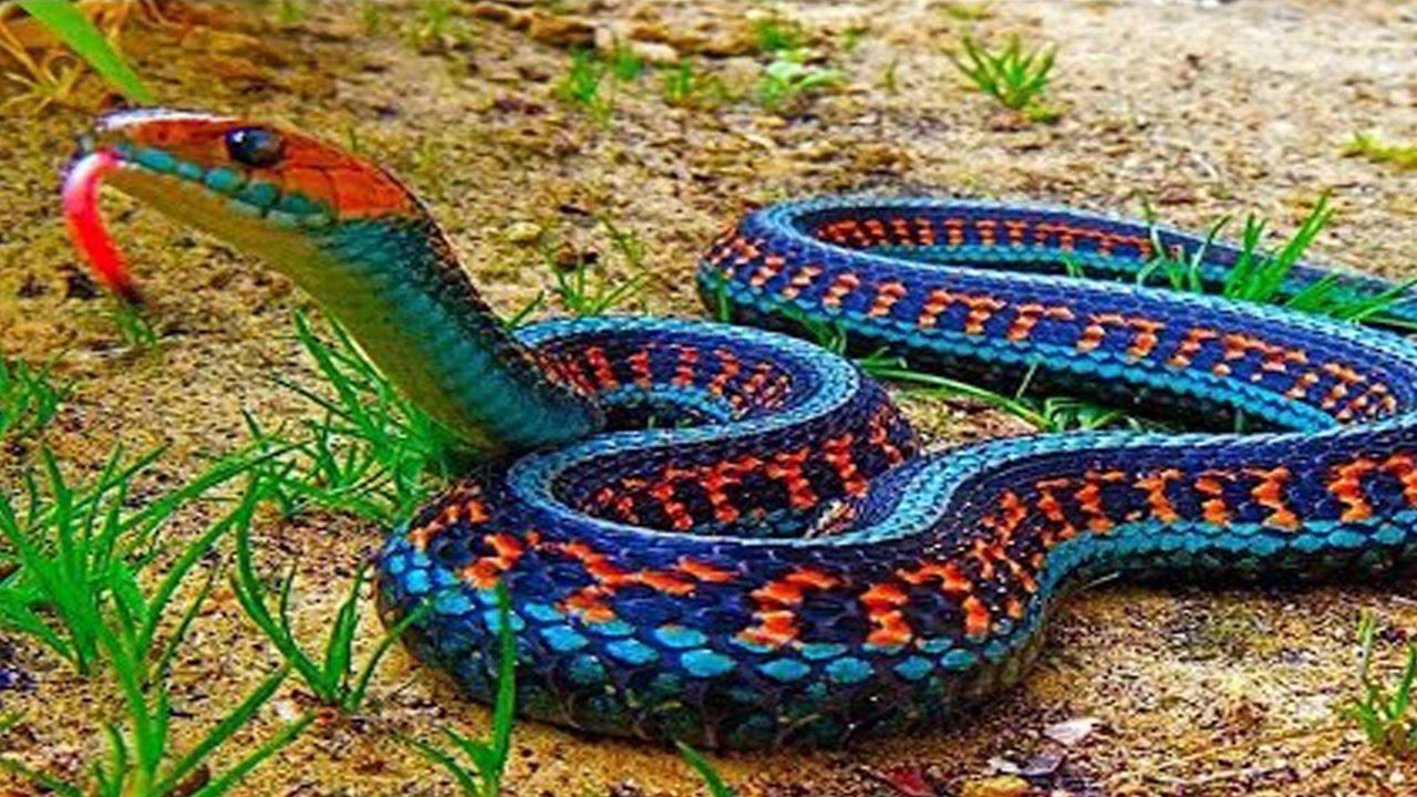 بالصور انواع الثعابين , تعرف على العديد من انواع الثعابين 5709 1