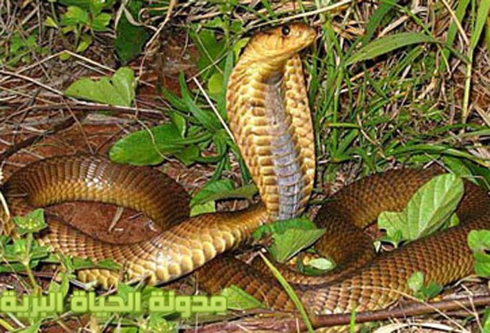 بالصور انواع الثعابين , تعرف على العديد من انواع الثعابين 5709 2