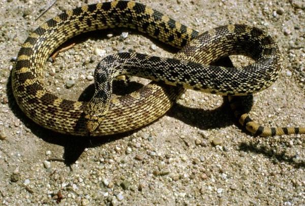 بالصور انواع الثعابين , تعرف على العديد من انواع الثعابين 5709 6