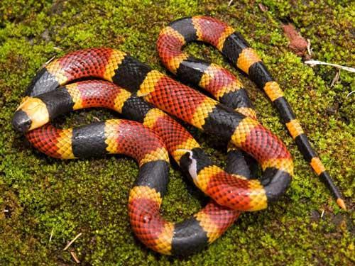 بالصور انواع الثعابين , تعرف على العديد من انواع الثعابين 5709 7