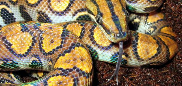 بالصور انواع الثعابين , تعرف على العديد من انواع الثعابين 5709 9