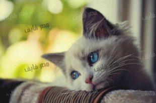 صورة صور قطط جميلة , قطط جميله حصريا في صور