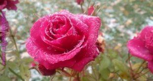 صوره صور زهور , زهور نادرة مميزة جدا