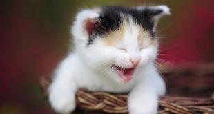 بالصور صور قطط مضحكة , ابتسم مع الحركات المضحكة لاشقي القطط. 4743 14 310x165