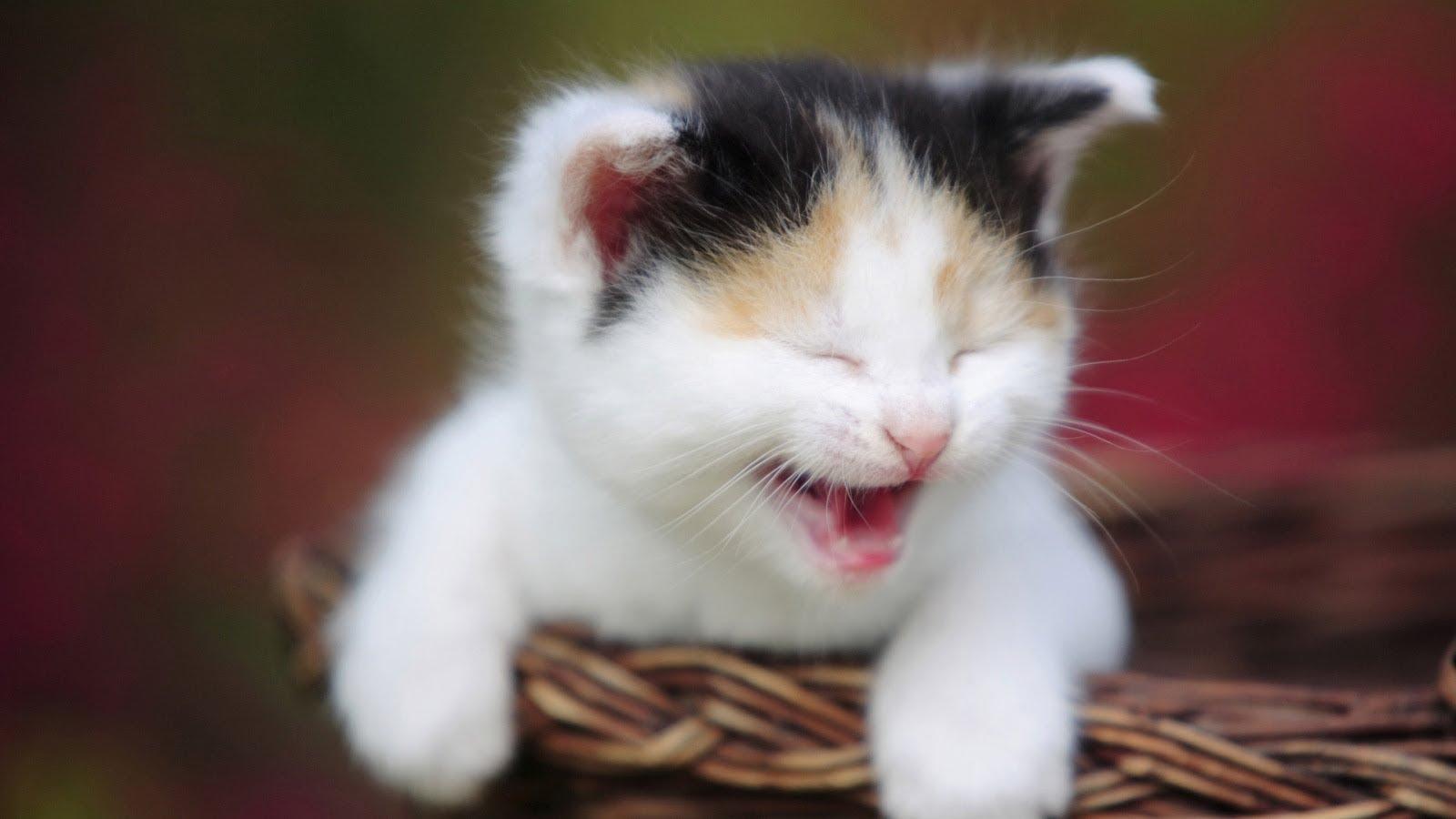 صور صور قطط مضحكة , ابتسم مع الحركات المضحكة لاشقي القطط.