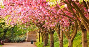 بالصور صور فصل الربيع , اجمل الفصول هو فصل تفتح الزهور 4779 12 310x165