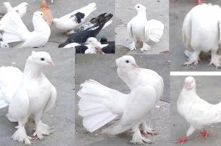 صورة صور حمام , ارق انواع الطيور بأشكاله